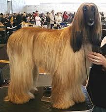 afghan hound grooming styles afghan hound wikipedia