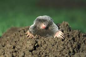 how to trap gophers and moles in your garden grab n grow