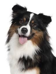 australian shepherd upkeep australian shepherd with hip dysplasia nzymes