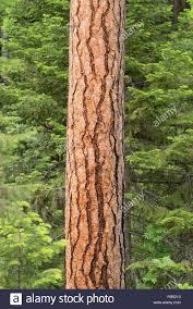 ponderosa pine tree trunk wallowa mountains oregon stock photo