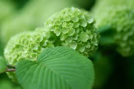 hydrangea green leaves bush hd wallpaper