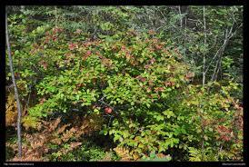 native plants ontario northern ontario plant database
