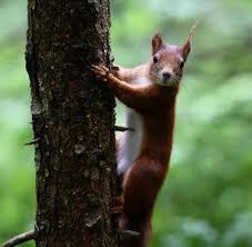 Italienische K Hen Eichhörnchen In Deutschland Nicht Durch Grauhörnchen Bedroht Welt