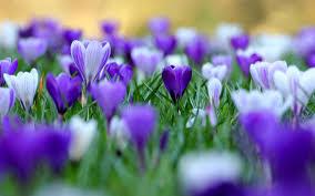 purple flower wallpaper qygjxz