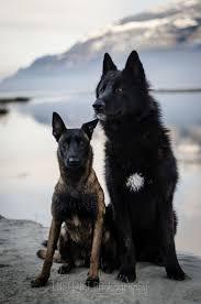 belgian shepherd gumtree 57 best wolf dog hybrid images on pinterest wolves wolf dogs
