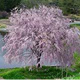 pink weeping cherry tree 1 2 ft flowering