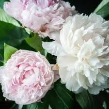 Peonies For Sale 124 Best Garden Peony Images On Pinterest Holland Roots And Peony