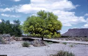 native plants of arizona arizona state tree palo verde
