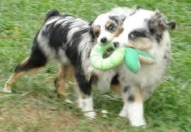 australian shepherd uglies young at justa little aussie toy australian shepherd aussie