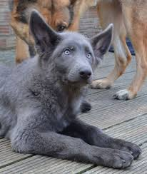 belgian sheepdog for sale in texas powder blue german shepherd google search u2026 pinteres u2026