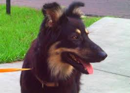 belgian shepherd ears java the australian shepherd belgian shepherd adopted the