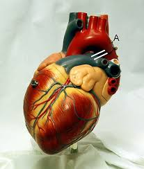 Anatomy Of The Heart Lab Human Physiology Print Version Wikibooks Open Books For An Open