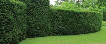 astounding best evergreen trees for privacy 73 for design pictures