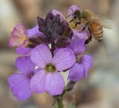 native plants for bees bee gardening resources u2013 uc davis häagen dazs honey bee haven