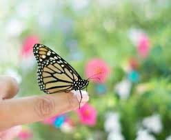 monarch butterfly on a finger stock photo image of human green