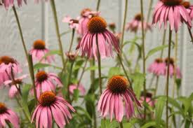 Echinacea Flower Echinacea Flower Infused Honey Homespun Seasonal Living