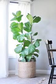 best 25 fiddle leaf fig tree ideas on pinterest fiddle leaf fig
