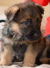 5280 australian shepherd 24 best images about shepherd love on pinterest german shepherd