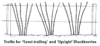 How To Build Trellis How To Grow And Maintain An Organic Blackberry Patch Sacred Habitats