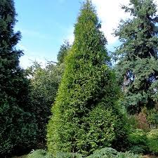 the 25 best cypress trees for sale ideas on pinterest cypress