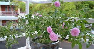 Fragrant Plants For Pots - do you know gulabjal gulkand and perfumes are made up of flower