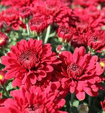 belgian mums lava red fall color johnson nursery