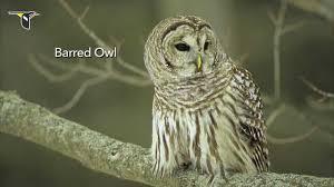 the distinctive calls of owls a sampler youtube