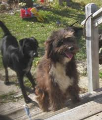 affenpinscher texas pets lost and found in fannin county tx