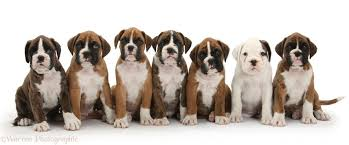 boxer dog uk dogs seven boxer puppies sitting in a row photo wp33123