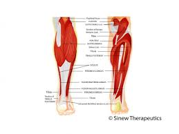 Back Knee Anatomy Lower Leg Pain And Injuries Information Sinew Therapeutics