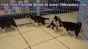 siberian husky puppies dogs for sale in miami florida fl