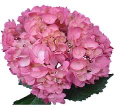 pink hydrangea buy fresh dyed purple hydrangeas for weddings at wholesale