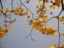 Yellow Flowering Trees - virginia u0027s life such as it is tabebuia the brilliant yellow