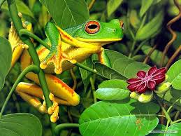 free frog wallpapers and screensavers hq definition frog