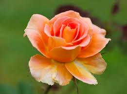 family home and garden raleigh raleigh rose garden susan bailey photography