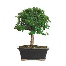 one s moxie the soothing company jade indoor bonsai