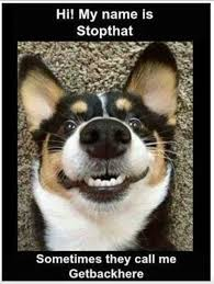 Hi My Name Is Meme - hi my name s stopthat dobrador dogs