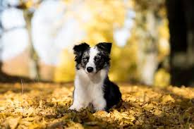 australian shepherd vs border collie top 10 smartest dog breeds for your home companion animals