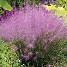 meadowgate ornamental grass nursery uk ornamental grasses
