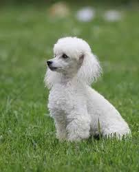 different toy poodle cuts poodle cut google search poodles pinterest poodle cuts
