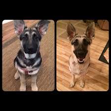 belgian shepherd ear problems she still hasn u0027t grown into her ears aww