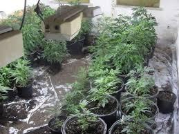 cannabis im garten verd磴chtiger f禺hrt polizisten zu plantage