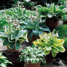 Fragrant Patio Plants Hosta Fragrant Blue J Parker Dutch Bulbs