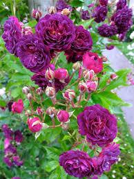 bleu magenta climbing rose blue magenta