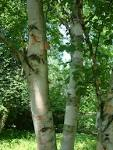Image result for Betula papyrifera
