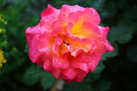 mardi gras roses farewell to s mardi gras roses thejnsreport