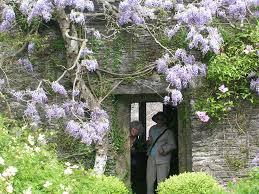 how to grow wisteria vine gardening wisteria growing wisteria vine