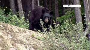 news police fatally shoot black bear in scarborough backyard