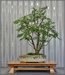 bonsai australian native plants silky oak grivillea robusta bonsai pinterest bonsai