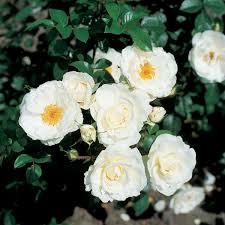 mattocks rose climbing white cloud notcutts notcutts